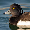 Tufted duck (male)
