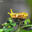 Indian Sunbeam Caterpillar