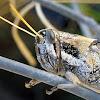 Vagrant Grasshoper