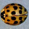 Asian Ladybird Beetle
