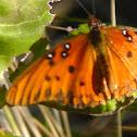 Gulf Fritillary
