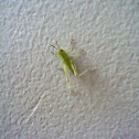 Green Grasshopper Nymph