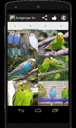 玩免費教育APP|下載Budgerigar Sounds for Parakeet app不用錢|硬是要APP