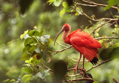 A scarlet ibis on Trinidad and Tobago.