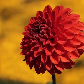 Passion! by Sunny Zheng - Flowers Single Flower ( flora, summer, garden, dahlia, floral, flower,  )