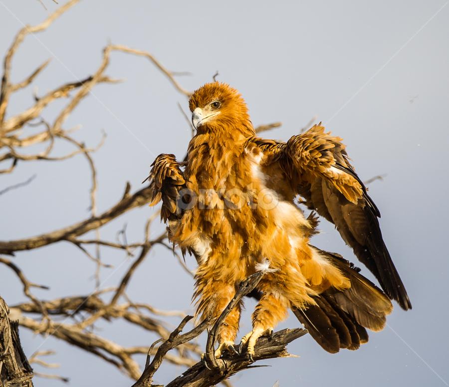 The Shuffle by Bridgena Barnard - Animals Birds ( nature, raptors )