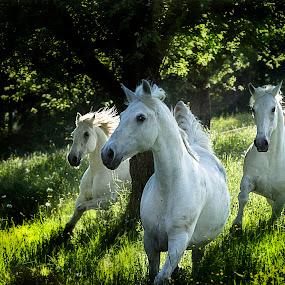 Lipizzian horses by Milan Malovrh - Animals Horses ( lipicanci,  )
