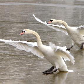 In unison by Tony Walker - Animals Birds ( flight, swans, unison, landing, pair,  )