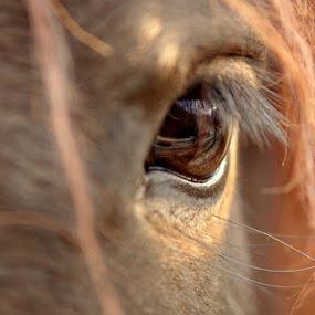 Look by Donat Piber - Animals Horses ( looking, horse, eye )