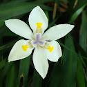 Moréia branca - flor