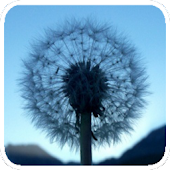 Dandelion Magic Touch
