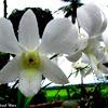 Dendobium orchid hybrid