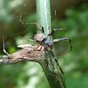 Labyrinth orbweaver spider