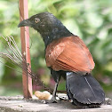 Greater Coucal or Crow Pheasant