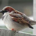 Sparrow  bird - House Sparrow
