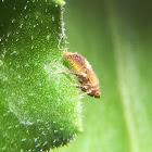 Leafhopper. Saltahojas