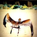 Pelicano pardo del Caribe