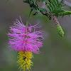 Kalahari Christmas Tree, Bell Mimosa
