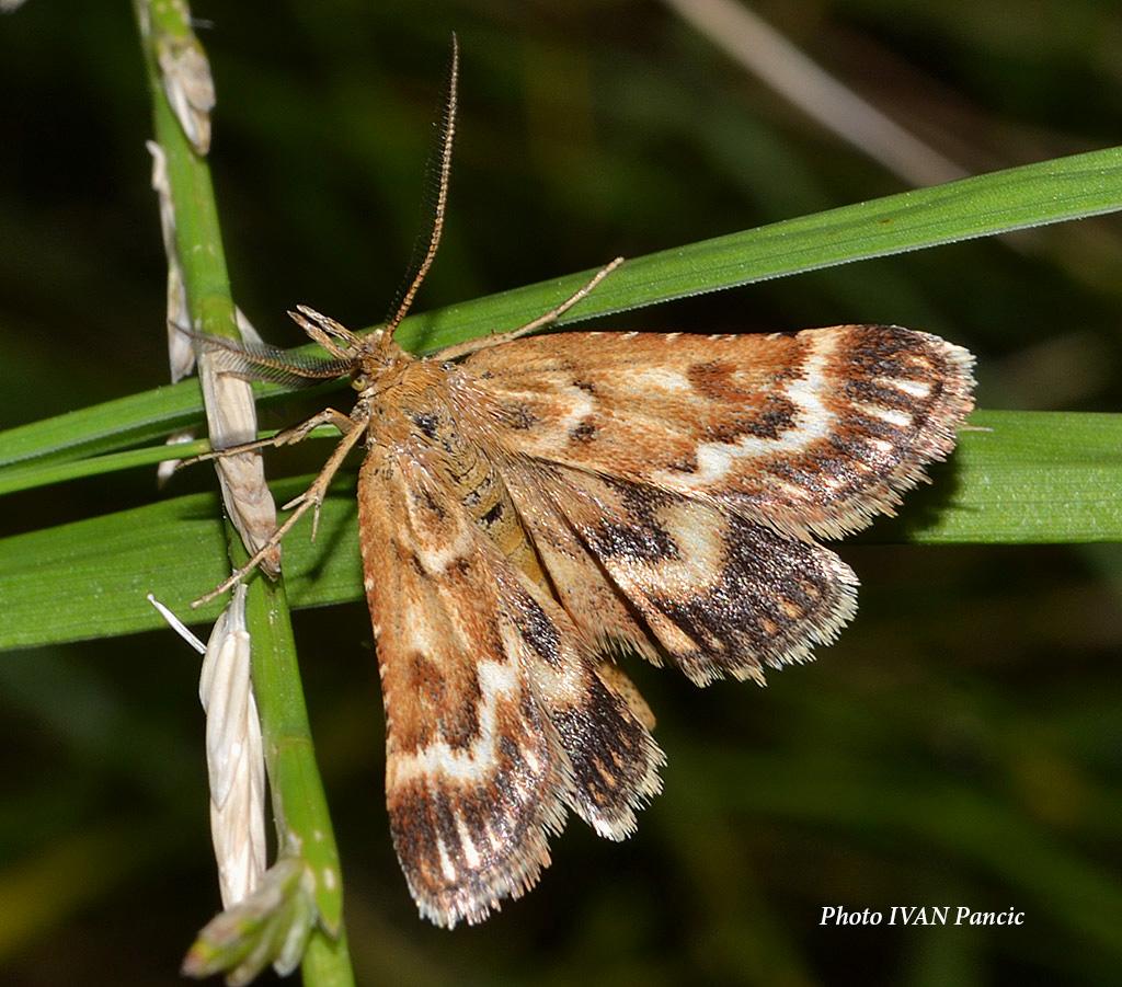 Pyralidae moth
