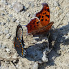 Question mark & red-spotted purple mud-puddling