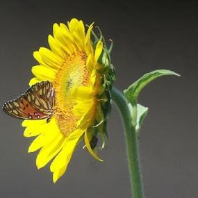 Sunflower & Butterfly by Toni Haas - Flowers Single Flower ( butterfly, sunflower, flower )