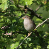 House Sparrow / Haussperling (female)