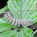 Fall Webworm Moth