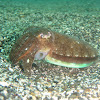 Andrea cuttlefish