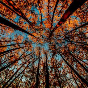 forest by David Ubach - Landscapes Forests ( trees, forest, cypress trees, looking up, dense )