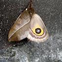 Automeris Moth