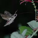 hummingbird hawkmoth