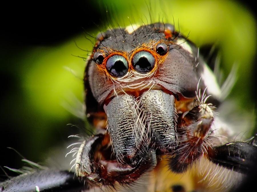 Jumper spider by Rui Santos - Animals Insects & Spiders ( raynox, belém, aranha, fuji hs25, saltadeira, amazônia, pará, spider, brasil, jumper,  )
