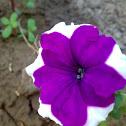 Petunia - التبغية