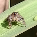 Bold Jumper (female)
