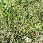 Locustberry