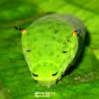Tailed Jay Caterpillar (Late instar)