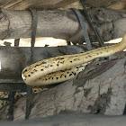 Guarda Camino - Shaw's dark ground snake
