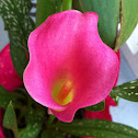 Pink Cala Lily