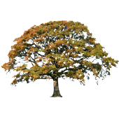 Oak Tree Fall Sticker