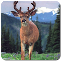 Deer Wallpapers