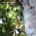 Araña de Seda Dorada - Golden Silk Spider