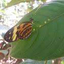 Buterfly