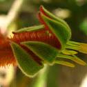 Kangeroo Paw