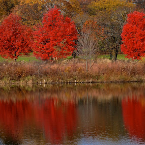 Three Red Trees by Miren Etcheverry - Landscapes Forests ( reflection, red, autumn, foliage, fall, trees, fresh pond, pond, color, colorful, nature,  )