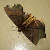 Goldback Owlet Moth