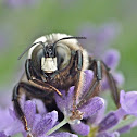 Eastern carpenter bee subspecies