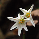 Unknown Liliaceae
