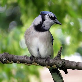 North American Blue Jay by Patti Hobbs - Animals Birds ( animals photography north american bluejay birds,  )