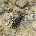 Eastern Red-bellied Tiger Beetle