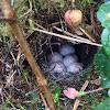 House wren nest & eggs